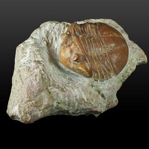 Trilobite fossile - I trilobiti sono artropodi di ambiente marino esclusivi dell'era paleozoica