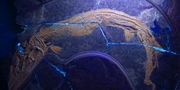 L'ultimo pasto per un fossile di Saurichthys ne rivela gli organi interni